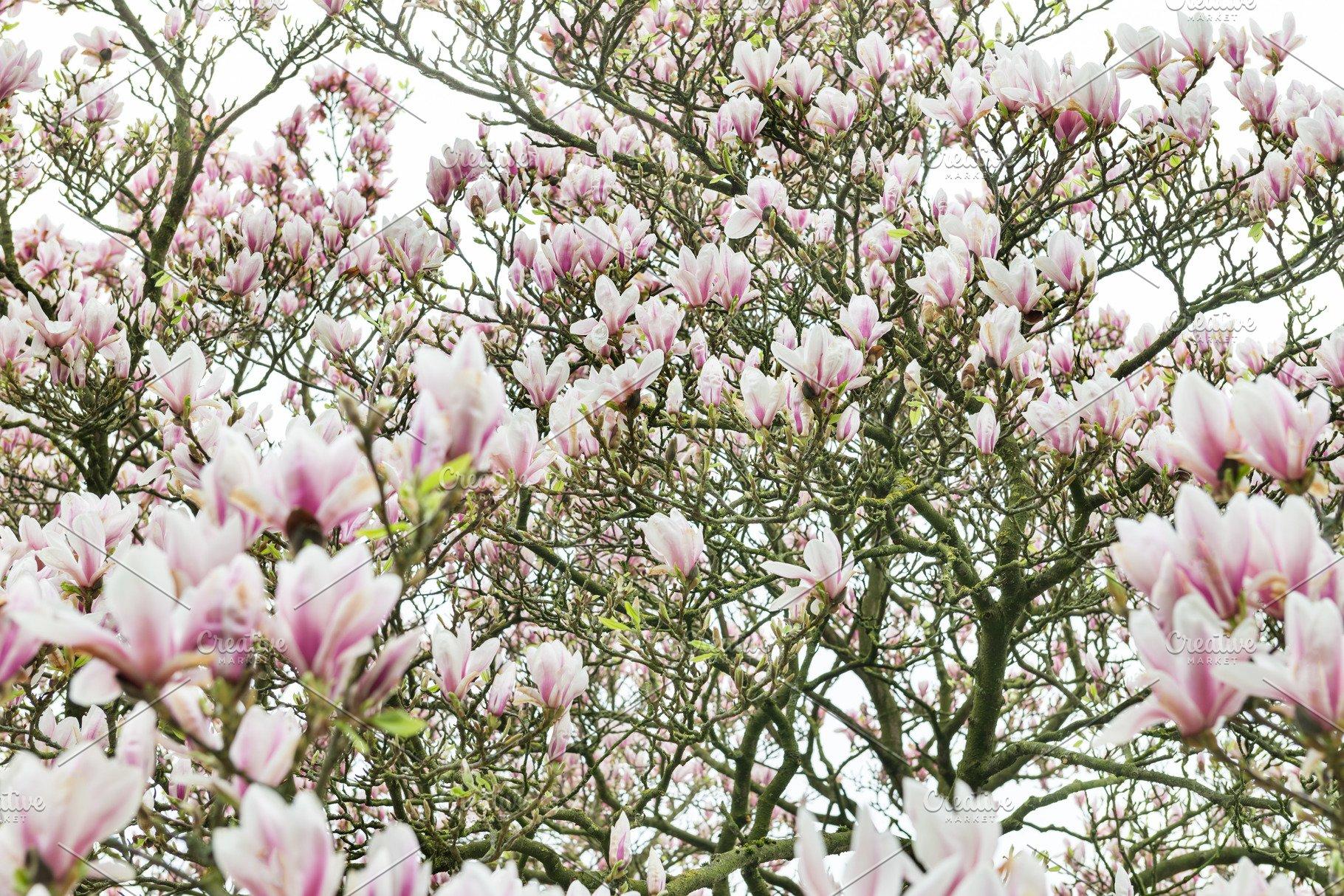 Pink Magnolia Tree With Blooming Flowers During Springtime In En