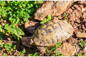 Tortoise on the ground near Moulay Idriss, Morocco