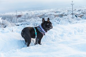 Black French Bulldog in the snow
