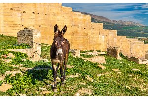 Donkey at the city walls of Fes, Morocco