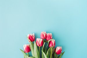 Pink tulips on blue background.