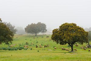 Extremadura Meadow  with lambs