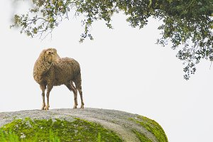 sheep climb on rock