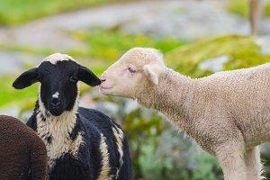 funny lambs i