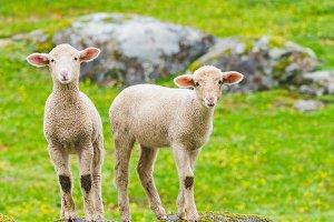 cutle little lambs