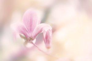 Spring vintage Magnolia flower