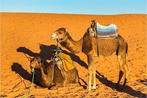 Dromedary camels resting at Erg Chebbi dunes of Sahara desert. Merzouga, Morocco
