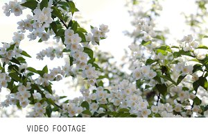 Blooming apple tree with bright sun