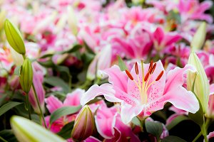 Pink flowers lilly romantic nature