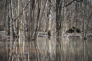 Trees in the water, early spring, flooding in the forest