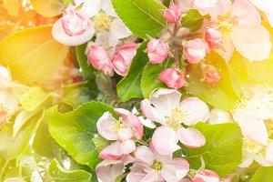 Apple tree flowers. Spring