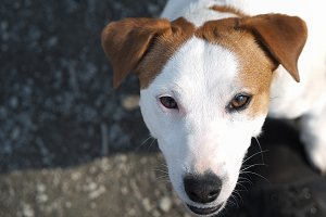 Dog looks from the bottom up. Portrait of a dog breed Jack Russell