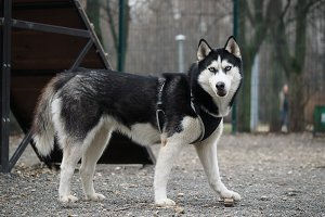 Dog breed husky. A portrait of the animal
