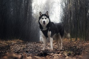 Dog breed husky. Portrait of a dog on a country road in the woods