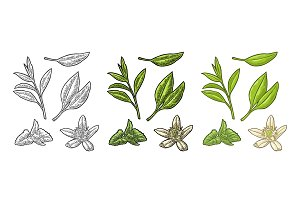 Tea branch with leaves, melissa, jasmine. Vector vintage engraving