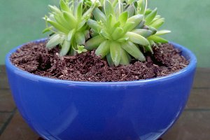 Succulent plant at blue pot