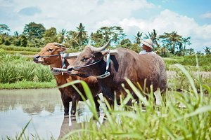 Buffalo in the rice field