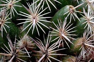 Cactus thorns in rosettes