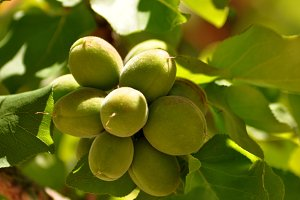 green unripe apricots on branch