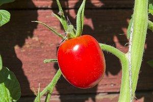 Ripe red tomato lit by a bright sun