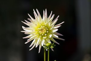 Bright yellow-green dahlia.