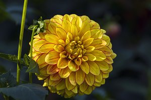Bright yellow-red dahlia