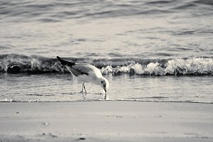 Gull on the beach in sicily b/w