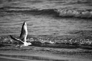 Seagull flying over the beach b/w