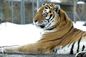 Bengal tiger with a strong look
