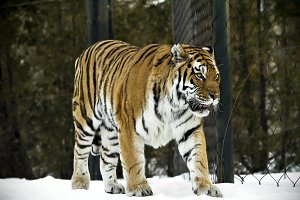 Bengal Tiger walking.