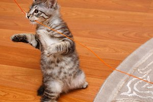 Bobtail cat stands on its hind legs.