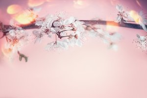 White cherry blossom at pastel pink