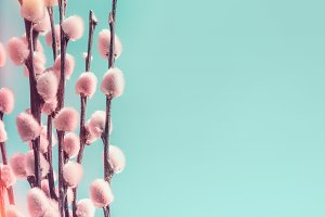 Pastel pink pussy willow branches