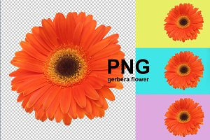 PNG gerbera flower isolated