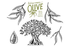 Set of Olive oil and branch of trees. Organic vegetarian product. Green plant for healthy diet. Black fruit for cooking food. Engraved hand drawn in old vintage sketch. Vector illustration.