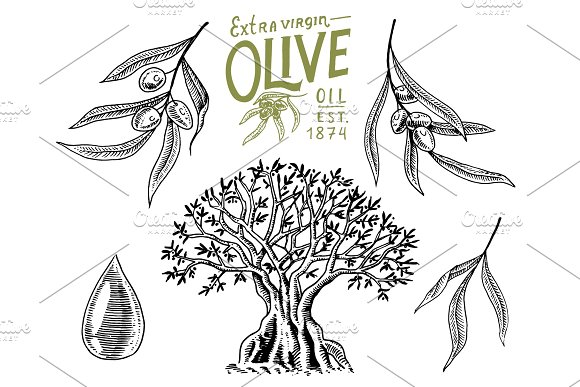 Set Of Olive Oil And Branch Of Trees Organic Vegetarian Product Green Plant For Healthy Diet Black Fruit For Cooking Food Engraved Hand Drawn In Old Vintage Sketch Vector Illustration