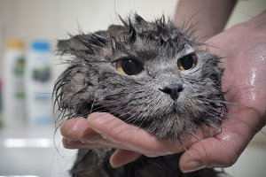 Human hands are washed cat