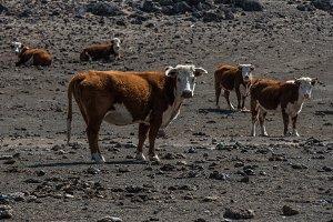 bull cow empty arid desert starving