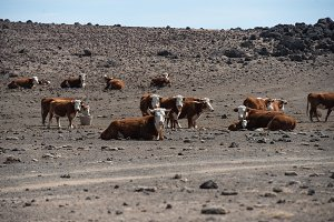 herd of cows in empty arid desert