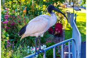 Australian white ibis in the Royal Botanic Garden of Sydney, Australia.