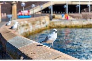 Sea Gull at the seaside of Sydney, Australia