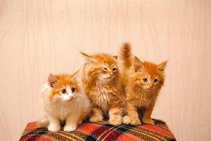 Three cute red kittens