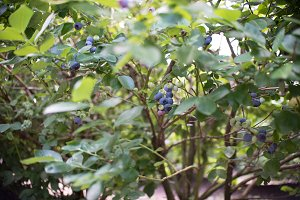 Fresh blueberries at a farm