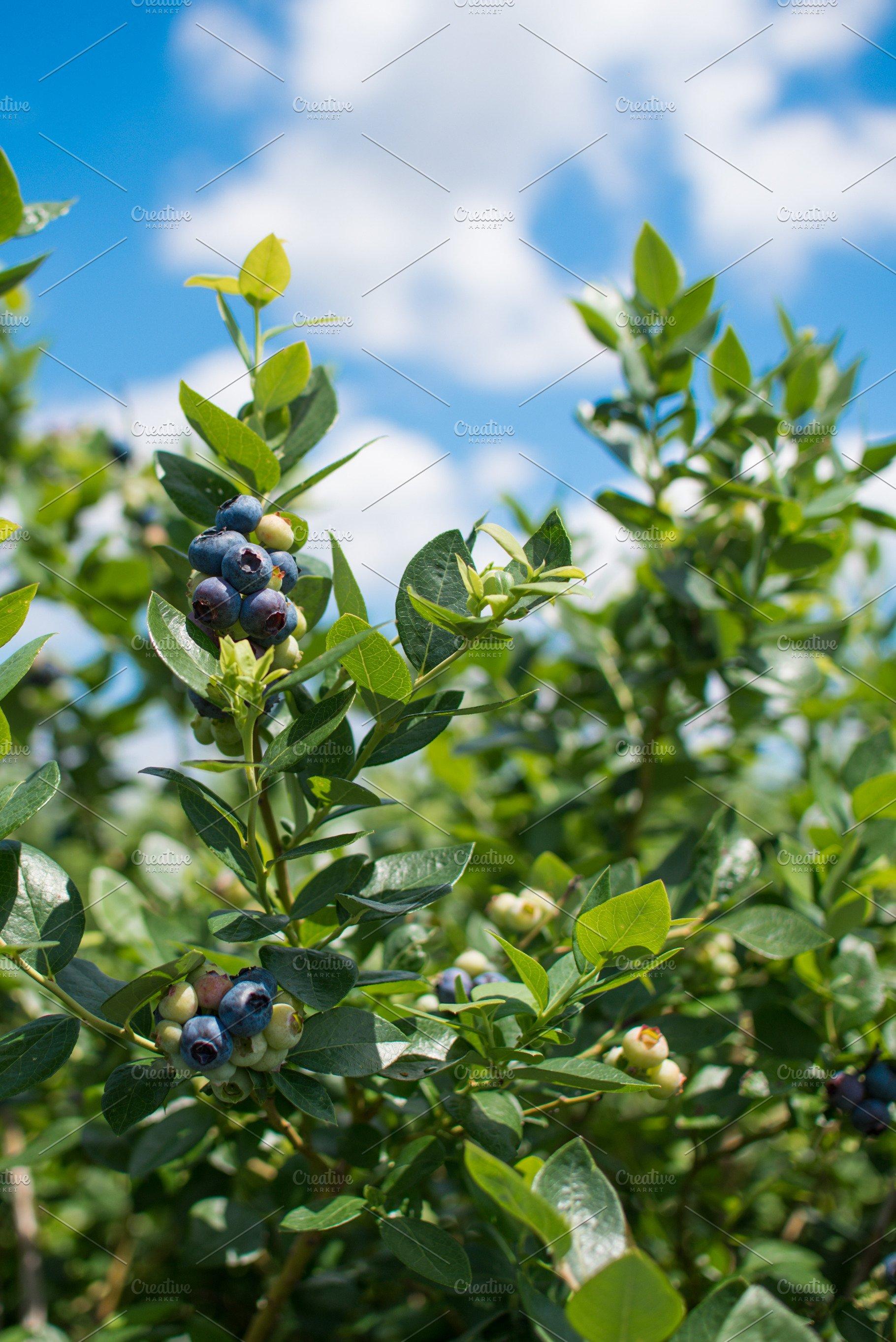 Fresh blueberries at a farm