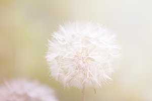 Dandelion on a summer's day