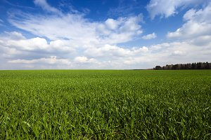 cereal field.  Agricultural