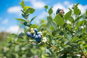 Fresh blueberrys on the farm