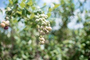 Fresh blueberrys on the farm