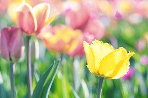Yellow tulips in a flower field