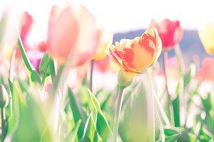 Orange tulips in a flower field